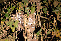 During a night drive near Araras Lodge, I spotted two ocelots, which were very well hidden up a tree.