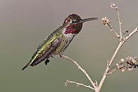 Anna's Hummingbird - Calypte anna - Adult male