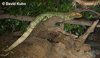0522-1007  Northern Caiman Lizard (Guyana Caiman Lizard) Climbing in Tree, Dracaena guianensis  © David Kuhn/Dwight Kuhn Photography
