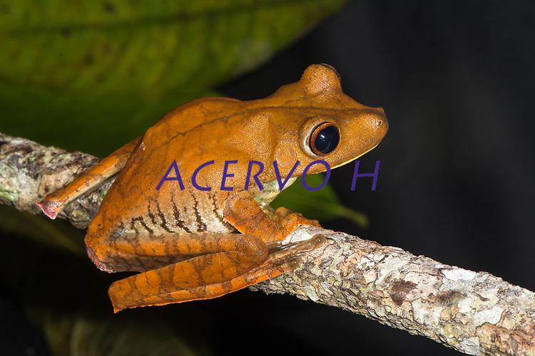 """Boana boans (Linnaeus, 1758)<br /> Nome-inglês: Giant Gladiator Treefrog<br /> .<br /> Uma das maiores pererecas do mundo, a espécie originalmente desrita pelo famoso naturalista Carlos Lineu, na ocasião da escrita do seu livro """"Systema Naturae"""" em 1758. <br /> .<br /> Espécie comum em toda a Amazônia, onde pode ser encontrada próxima a ambientes aquáticos (beira de rio, igarapés, poças temporárias, açudes).<br /> .<br /> Imagem feita em 2017 durante expedição científica para a região do Lago Tefé, Tefé, Amazonas, Brasil. A expedição, financiada pelo  Conselho Nacional de Desenvolvimento Científico e Tecnológico, teve o abjetivo de reencontrar espécies de anfíbios descritas pelo explorador Johann Baptist von Spix no ano de 1824."""