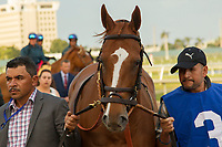 HALLANDALE BEACH, FL  JANUARY 27: #3 Stellar Wind heads into the saddling paddock before the Pegasus World Cup Invitational, at Gulfstream Park Race Track on January 27, 2018,  in Hallandale Beach, Florida. (Photo by Casey Phillips/ Eclipse Sportswire/ Getty Images)