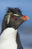 Rockhopper Penguin - Eudyptes chrysocome