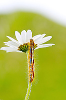 Caterpillar climbing white daisy