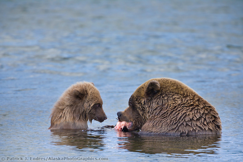 Brown bear sow and spring cub feed on red salmon in the Brooks River, Katmai National Park, southwest, Alaska.