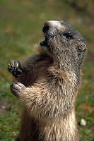 Marmot, standing up, begging for food, Saas Fee, Switzerland