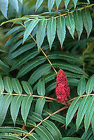 SO01-051x  Staghorn Sumac - flower and leaves - Rhus typhina