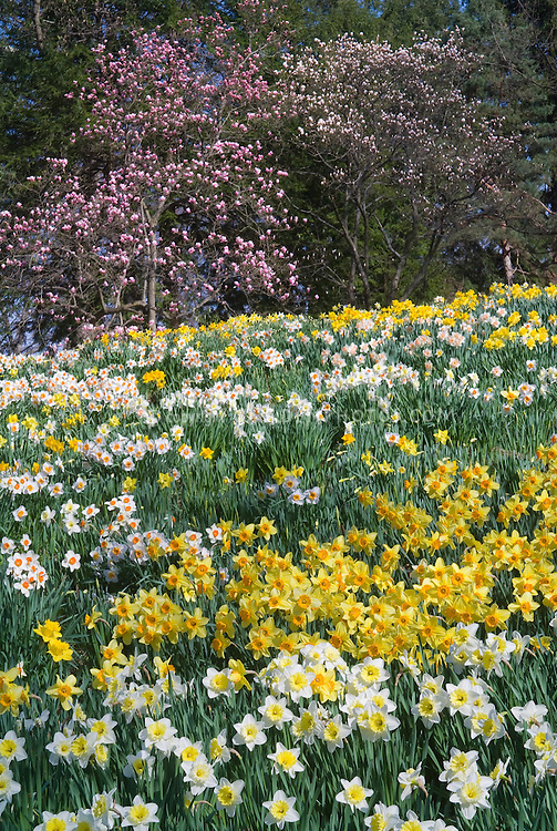 Spring Daffodils Narcissus naturalized in spring bloom in mixed masses with Magnolia x soulangeana trees in flower