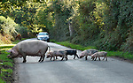 Piglets crossing the road in the New Forest
