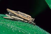 Kleiner Rauch-Sackträger, Sackträger, Raupe, Larve in ihrem Gespinstsack, Raupensack, Psyche casta, bagworm, caterpillar, Echte Sackträger, Psychidae, bagworm moths, bagworms, bagmoths