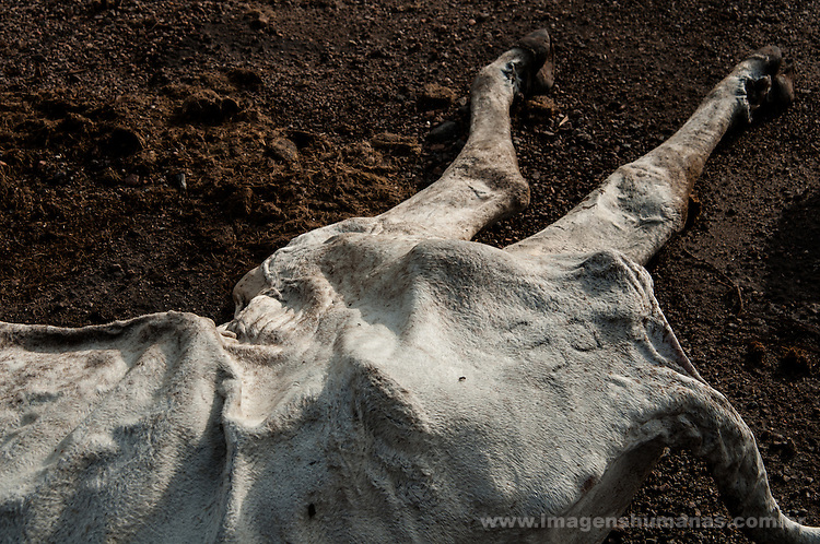 Carcaça de boi morto pela seca em rodovia do Estado de Pernambuco.