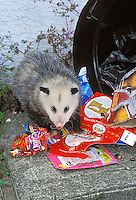 VIRGINIA OPOSSUM raiding home garbage..British Columbia, Canada..Summer. (Didelphis virginiana)..