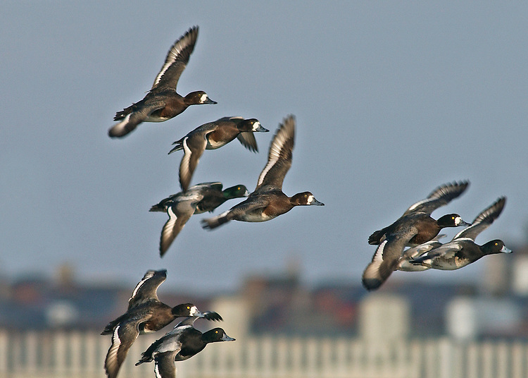Greater Scaup - Aythila marila - flock in flight. Bulky diving duck. Recalls Tufted Duck but has rounded head without tufted crown. Gregarious outside breeding season. In flight, has striking white wingbar. Sexes are dissimilar in other respects. Adult male has green-glossed head and dark breast (look black in poor light). Belly and flanks are white, back is grey and stern is black. Has yellow eye and dark-tipped grey bill. In eclipse, dark elements of plumage are buffish brown. Adult female has mainly brown plumage, palest and greyest on flanks and back. Note white patch at base of bill. Juvenile is similar to adult female but white on face is less striking. Voice Mostly silent. Status A few pairs breed but known best as local winter visitor, mostly to sheltered coasts.