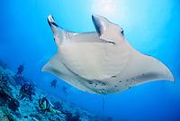 reef manta ray, Manta alfredi, and scuba diver, Gan, Maradhoo, Addu Atoll, Maldives, Laccadive Sea or Lakshadweep Sea, Indian Ocean, MR