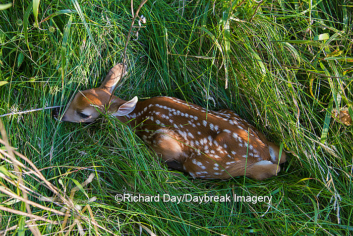 01982-05205 White-tailed Deer (Odocoileus virginianus) fawn in grass, Marion Co., IL