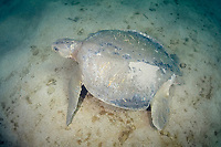 Australian flatback sea turtle, Natator depressus, endemic to Australia and southern New Guinea, with large section of rear left carapace missing, most likely from the bite of a tiger shark, Australia