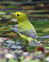 Female Wilson's warbler bathing during fall migration