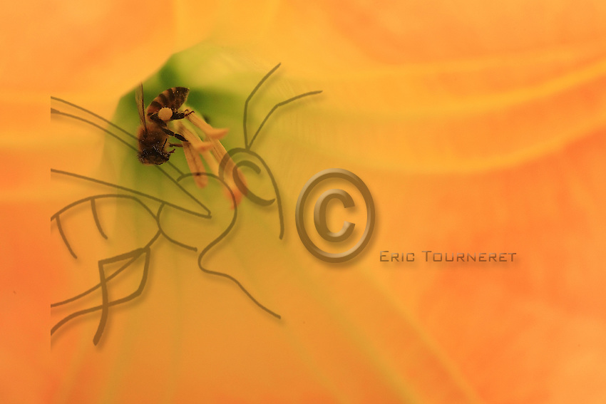 An Africanized bee gorges itself on nectar and gathers pellets of pollen from a flower of the datura arborea genus.