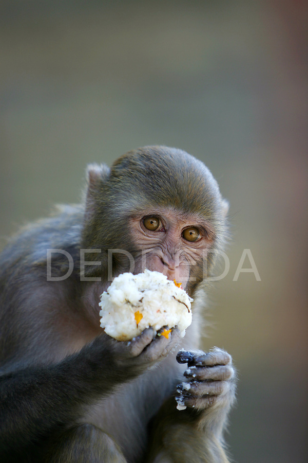 A monkey eats a rice ball at the Pashupatinath Temple, the most important Hindu temple in Nepal. The temple is on the banks of the holy river, the Bagmati, in Kathmandu, Nepal..