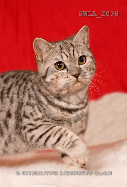 Carl, ANIMALS, photos, cat, red fond(SWLA2038,#A#) Katzen, gatos