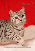 Carl, ANIMALS, photos, cat, red fond(SWLA2038,#A#) Katzen, gatos