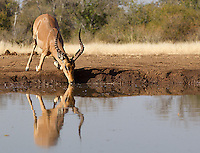 A small herd of impalas came to drink at the Mashatu hide.