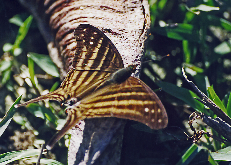 A Banded Daggerwing on a tree in the Amazon Rainforest. Taken with a film camera and scanned for digital reproduction for identification purposes only! Not for print.