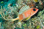 Grand Bahama Island, The Bahamas; a Longspine Squirrelfish (Holocentrus rufus) hovers over the coral reef