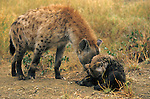 Spotted hyena, Crocuta crocuta, greeting cub, Kruger national park, South Africa