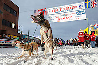A Cim Smyth dog leaps to go at the start line during the Ceremonial Start of the 2016 Iditarod in Anchorage, Alaska.  March 05, 2016