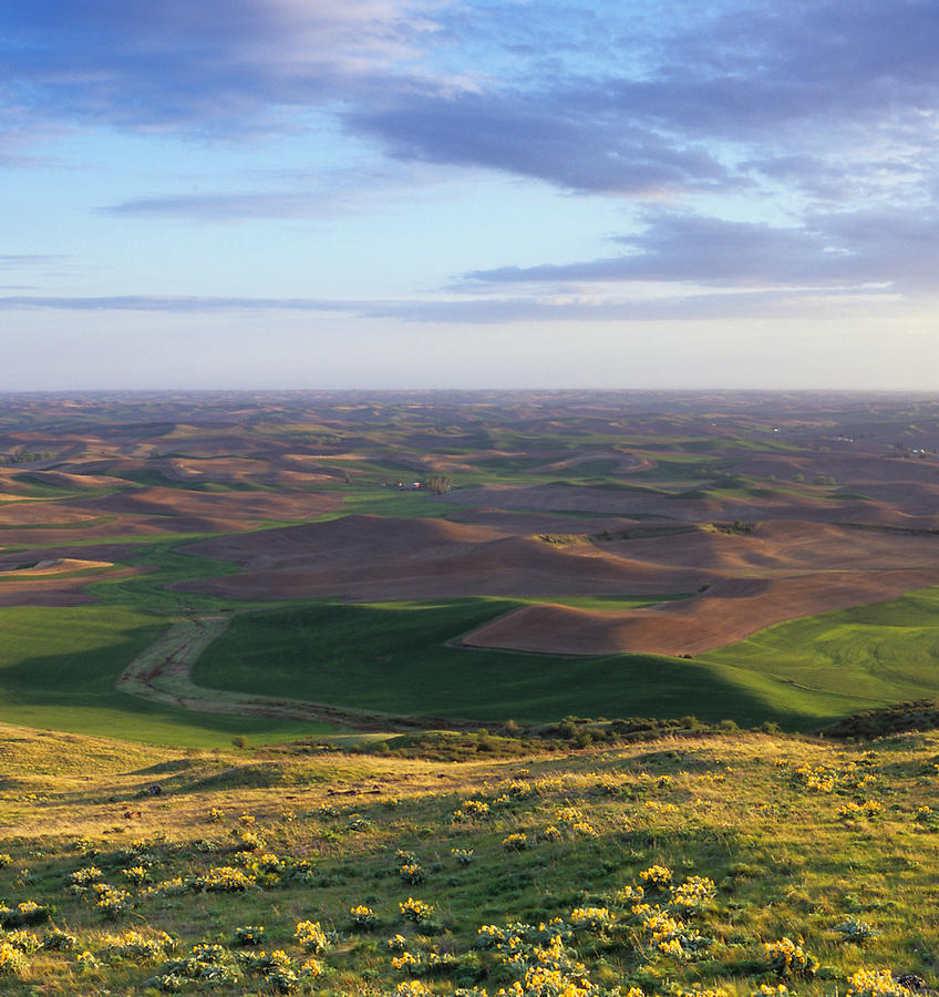 Yellow flowers and green foliage are seen on the hillside of Steptoe Butte in the Palouse of Eastern Washington State.