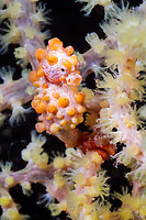Bargibanti Pygmy Seahorse, Hippocampus bargibanti, Komodo National Park, Lesser Sunda Islands, Indonesia, Pacific Ocean