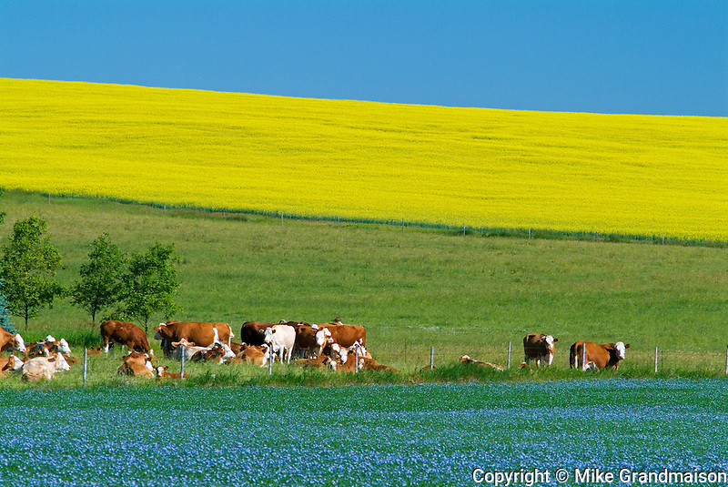 Cattle Canola and flax<br /> Bruxelles<br /> Manitoba<br /> Canada