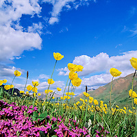 Yellow Alaska poppies and moss campion grow in the tundra of Highway pass in Denali national park, Alaska.