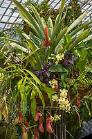 Container basket of tropical plants orange flower bromeliad Aechmea caudata and carniverous Pitcher plant, Nepenthes in Conservatory of Flowers greenhouse San Francisco