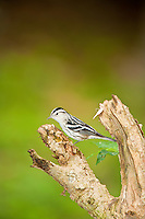 Black and White Warbler in Belize