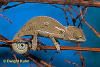CH47-578z  Veiled Chameleon several week old young, Chamaeleo calyptratus