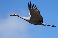 Crane - Sandhill