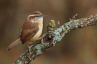 Carolina Wren posing on a lichen covered perch.