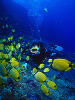 Scuba Divers interact with colorful reef fishes, sea turtles and much more in Hanauma Bay. A marine life conservation area on the island of Oahu. Here a diver observes the colorful yellow Milletseed Butterflyfish .