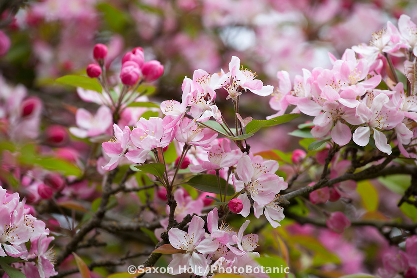 Kaido or Dwarf crabapple tree, Malus x micromalus flower blossoms in San Francisco Botanical Garden
