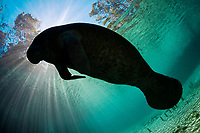 Endangered Florida Manatee, Trichechus manatus latirostris, silhouetted against the sun at Three Sisters Spring in Crystal River, Florida, USA. The Florida Manatee is a subspecies of the West Indian Manatee.