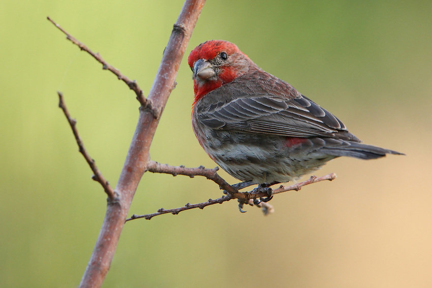 House Finches are small-bodied finches with fairly large beaks and somewhat long, flat heads. The wings are short, making the tail seem long by comparison. Many finches have distinctly notched tails, but the House Finch has a relatively shallow notch in its tail.