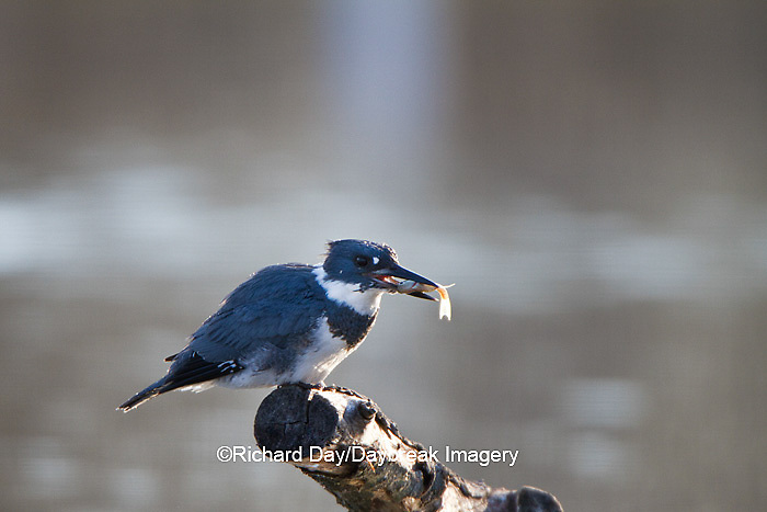 01186-00909 Belted Kingfisher (Ceryle alcyon) male with fish at wetland, Marion Co., IL