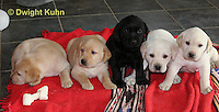SH37-528z Lab Puppies - Genetic variation of black, yellow and white, 4 weeks old,  Labrador Retriever..