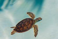 Baby turtles, Xcaret Park (Eco-archaeological Theme park), Riviera Maya, Quintana Roo, Mexico.