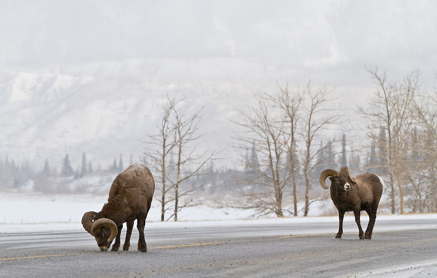 Two bighorn sheep along the roadside during a light snowfall.