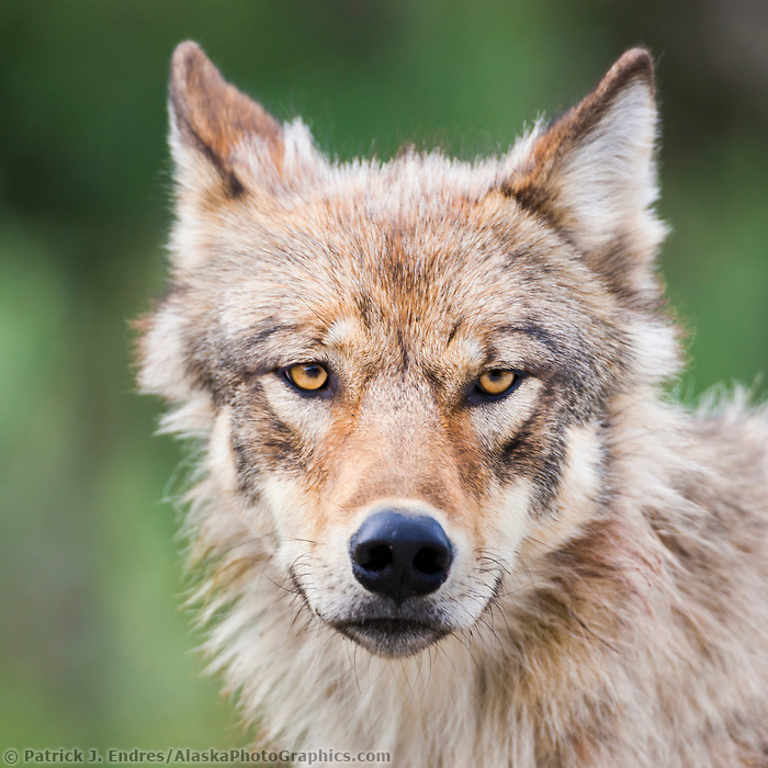 Wolf from the Grant Creek pack, Denali National Park, Interior, Alaska.