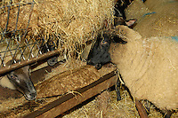 Suffolk cross ewes in for lambing feeding on hay and feed blocks Ashburton, Devon....Copyright John Eveson 01995 61280.j.r.eveson@btinternet.com