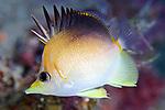 Prognathodes aculeatus, Longsnout butterflyfish, Roatan