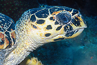 hawksbill sea turtle (Eretmochelys imbricata, Gulf of Aden, seven brothers islands, Sawabi Islands, off Djibouti coast, Africa